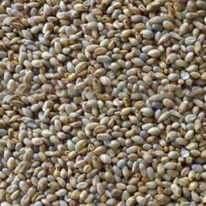 Naatu Kambu Pearl Millet Bajra Gantilu Sajje (கம்பு)